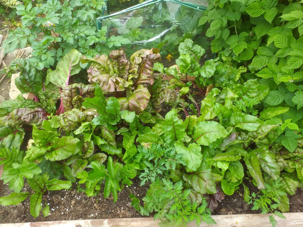 Beetroots produce a huge amount of leaves