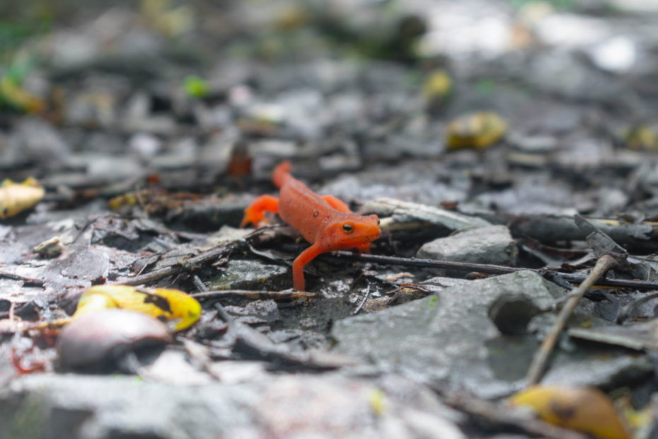Newts just get in the way of housing